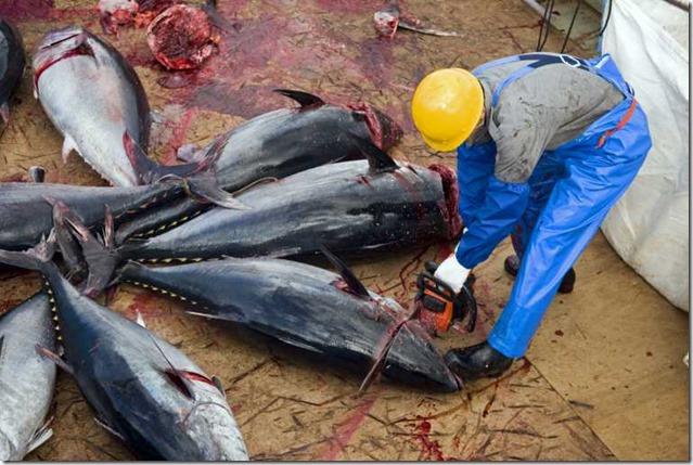 bluefin-tuna-risk-collapse-drastic-action_77