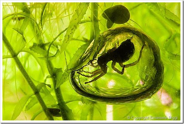 Argyroneta_aquatica