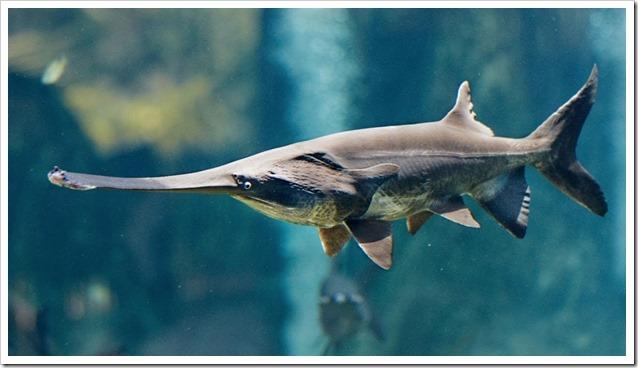 Pesce-spatola-cinese