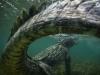 ng-american-crocodile-caribbean-sea-phptp-mike-korosteley