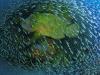 ng-napoleon-wrasse-coral-photo-christian-miller