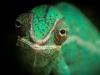 ng-pet-chameleon-scales-reptile_photo-nicolas-le-boulanger