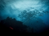 ng-underwater-jacks-cocos-island_photo-tracey-jennings