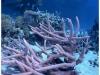 australia-lizard-island-banchi-di-staghorn-coral