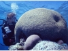 australia-lizard-island-brain-coral-o-corallo-cervello