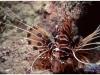 australia-lizard-island-lionfish-tra-il-reef