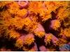 australia-lizard-island-polipi-di-coralli-tubulari