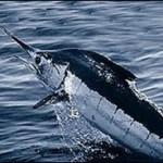 Atlantic-blue-Marlin_thumb