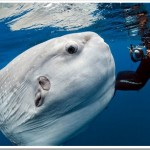 Mola-Mola-photo-by-Daniel-Bothelo.jpg
