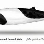 Mesoplodon-Traversii-Spade-Toothed-Beak-Wale.jpg
