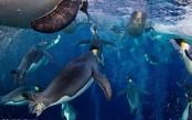 Foto-naturalistiche-big_paul-nicklen-bubble-jetting-emperor-veolia-environnement-wildlife-of-the.jpg