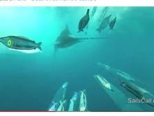 Sailfish attacca bar