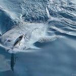 Maldive-Estremo-nord-sticklbait-Bertox.jpg