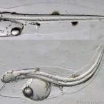 Petrolio-e-pesci-foto-larva-tonno.jpg