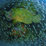 NG-napoleon-wrasse-coral-photo-Christian-Miller.jpg