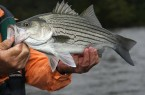 Ibrido-Striped-Bass.jpg