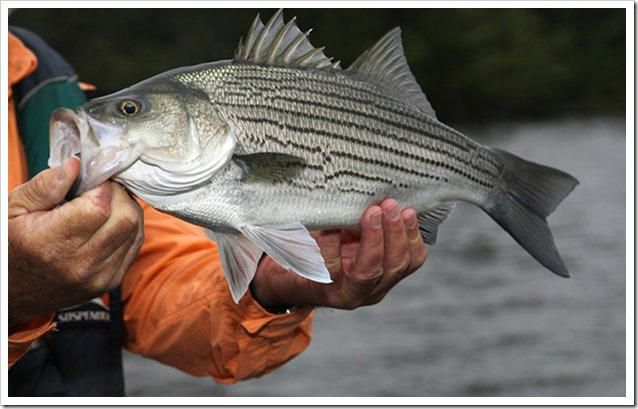 Ibrido Striped Bass