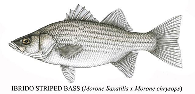 Ibrido di Striped Bass