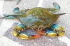 BLUE-CRAB-Callinectes-Sapidus-foto.jpg