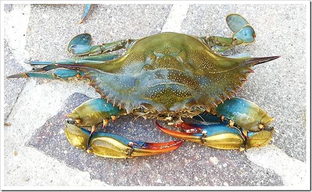 BLUE CRAB Callinectes Sapidus foto