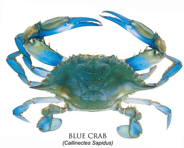 BLUE CRAB Callinectes Sapidus