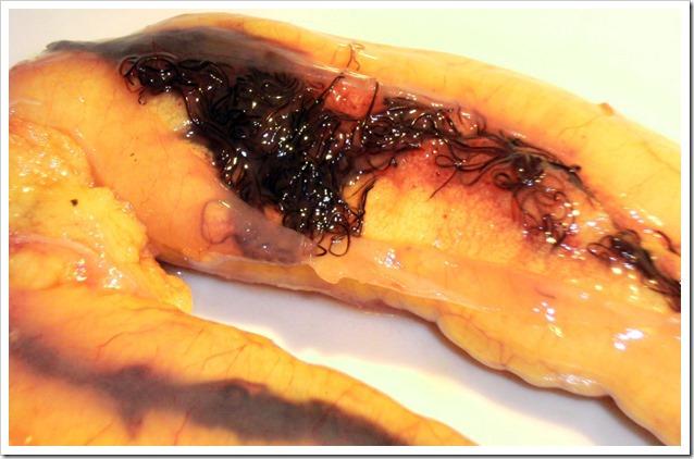 Gonadi-Pesce-serra-con-Philometra-saltatrix a