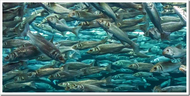 Spigole in acquacultura