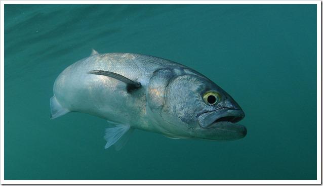 pesce-serra-2